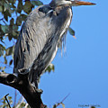 Great Blue Heron Perched by DigiArt Diaries by Vicky B Fuller