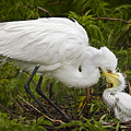 Great Egret And Chick by Susan Candelario