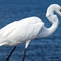 Great Egret  In Florida by Allan  Hughes