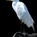Great Egret by Keith Lovejoy