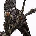 Great Grey Owl by Larry Ricker