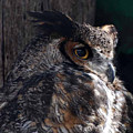 Great Horned Owl by Paul Ward
