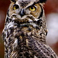 Great Horned Owl by Sonja Anderson