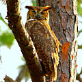 Great Horned Owl Wink by Barbara Bowen