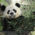 Great Panda by Keith Lovejoy