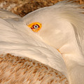 Great White Pelican by Dennis Hammer