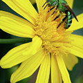 Green Bee On Yellow Daisy by Carol Groenen