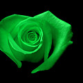 Green Heart-shaped Rose by Glennis Siverson