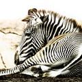 Grevy's Zebra by Bill Tiepelman
