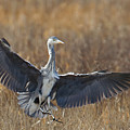 Grey Heron Landing by Bob Kemp