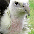 Griffins Vulture Eye To Eye by Susan Baker