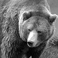 Grizzly Bear And Black And White by Tiffany Vest