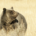 Grizzly Bear by Gary Beeler
