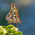 Gulf Fritillary Butterfly by Terry Wieckert