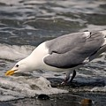 Gull At Surfs Edge by Terry Bridges