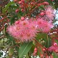 Gum Blossom by Bethwyn Mills