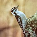 Hairy Woodpecker by Bob Orsillo