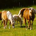 Halflinger Horses by Roger Soule
