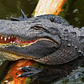 Happy Gator by Christopher Holmes
