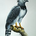 Harpy Eagle by Christopher Cox