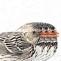 Harris' Sparrow X 3 by Charrie Shockey