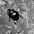 Harsh Life Black White Life Is Dung Beetle Card by Kathy Daxon
