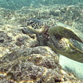 Hawaiian Green Turtle by Michael Peychich