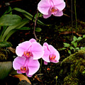 Hawaiian Orchids by Mark Grayden
