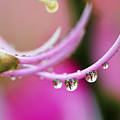 Hawaiin Rain Drops by Marilyn Hunt