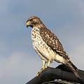 Hawk by Gouzel -