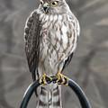 Hawk by Kim Souza