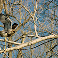 Hawk by Steve Karol