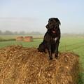 Hay There Black Dog by Kent Lorentzen