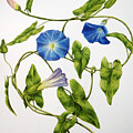 Heavenly Blue Morning Glory by Veronika Logar