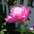 Heavenly Rose by John Loyd Rushing