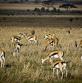 Herd Of Antelope by Darcy Michaelchuk