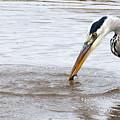 Heron Fishing by Bob Kemp