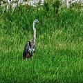 Heron In The Grasses by Michael Thomas