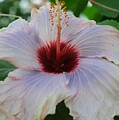 Hibiscus Beauty by Kathleen Struckle