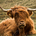 Highland Cow Color by Justin Albrecht