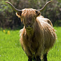 Highland Cow  by Randall Ingalls