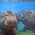 Hippos In Love by Steve Karol