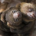 Hoffmanns Two-toed Sloth Orphans Hugging by Suzi Eszterhas