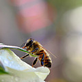 Honey Bee Visiting White Rose by Laura Mountainspring