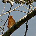 Hook Winged Butterfly by Debra     Vatalaro