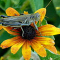 Hopper On Black Susan Flower by Jeanette Oberholtzer