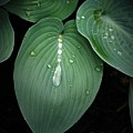 Hostas After The Rain by Tina Meador