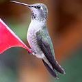 Hummingbird 1 by Mary Deal