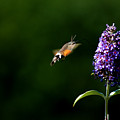 Hummingbird Hawk Moth - Three by P Donovan