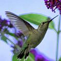 Hummingbird In Butterfly Bush by Carol Groenen